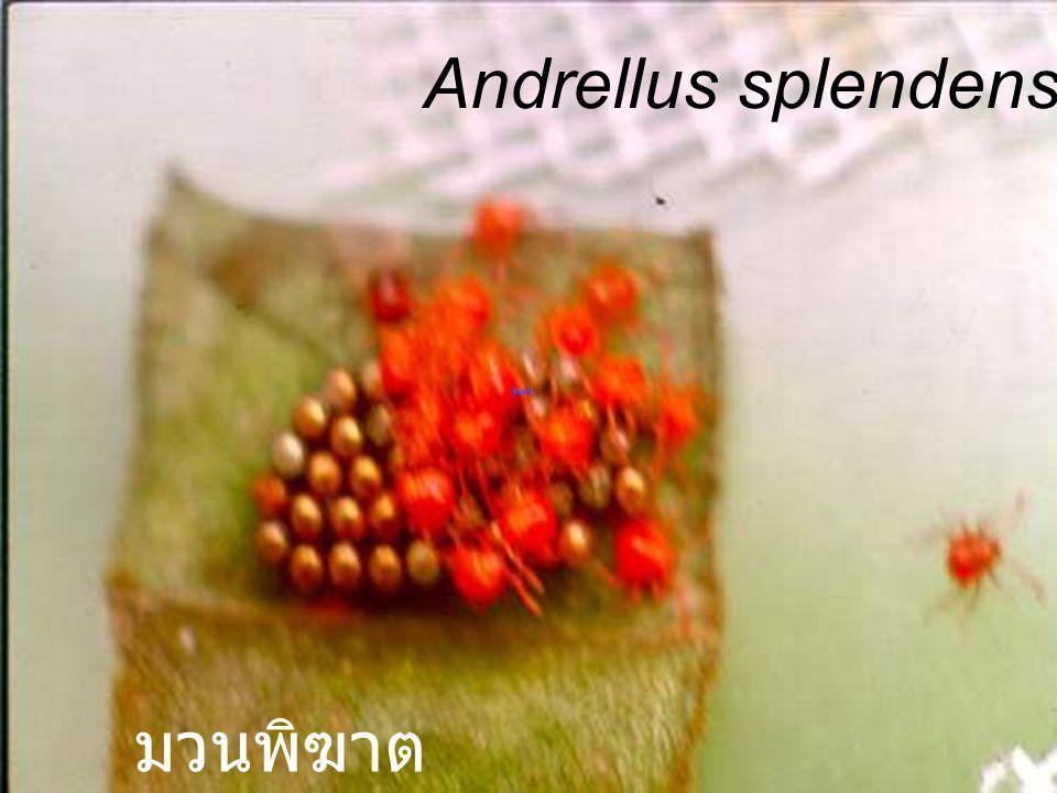 Andrellus splendens red mhg