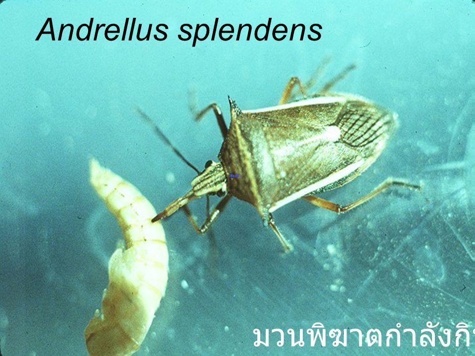 Andrellus splendens มวนพิฆาตกำลังกินอาหาร