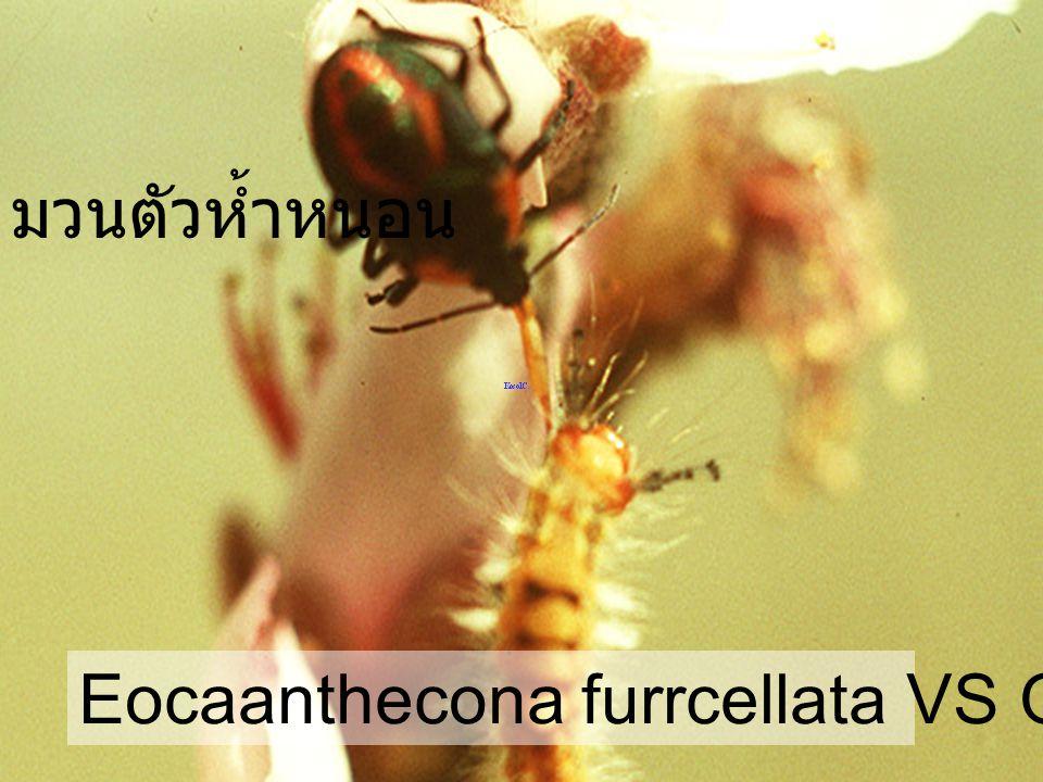มวนตัวห้ำหนอน Eocaanthecona furrcellata VS Orgyia turbata