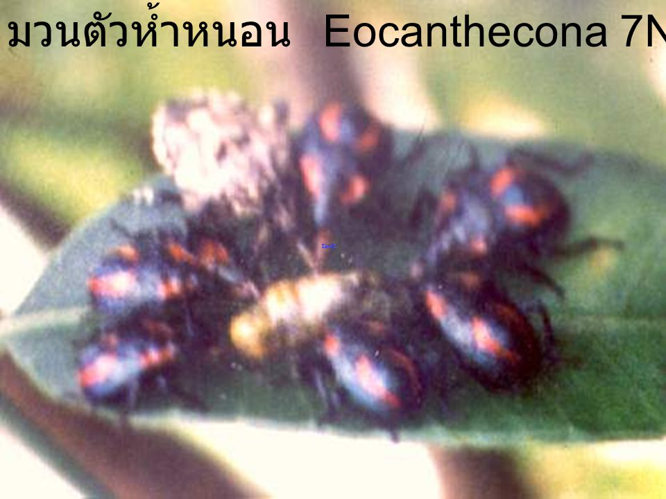 Eocanthecona 7Nymph1Egg