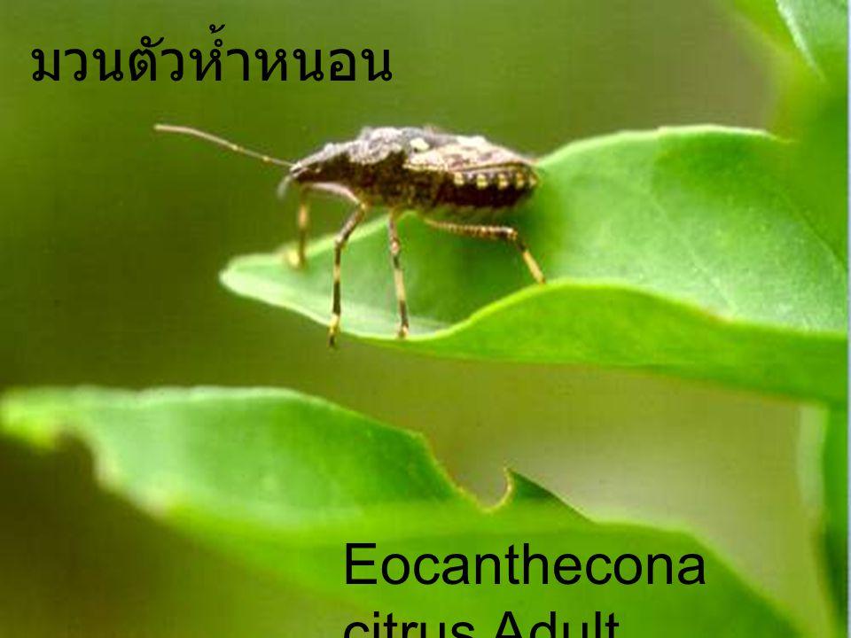 มวนตัวห้ำหนอน Eocanthecona citrus Adult