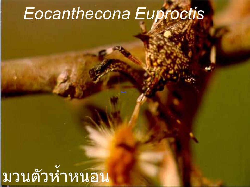 Eocanthecona Euproctis