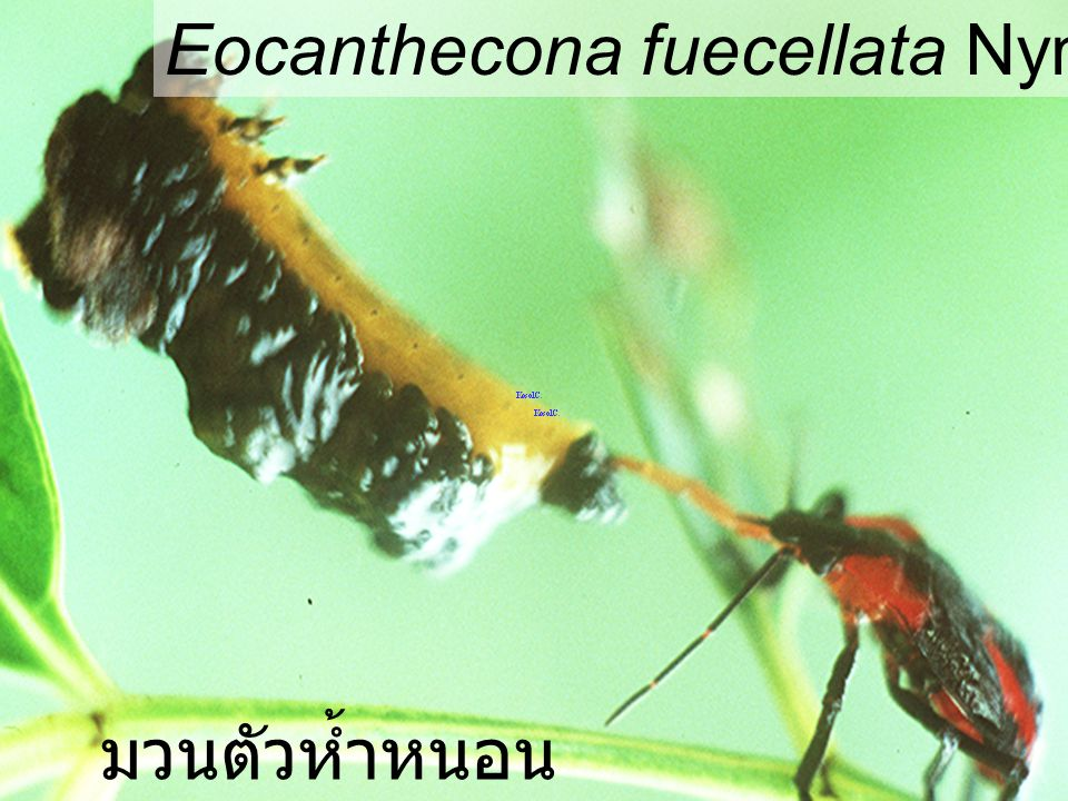 Eocanthecona fuecellata Nymph5 VS Podontia