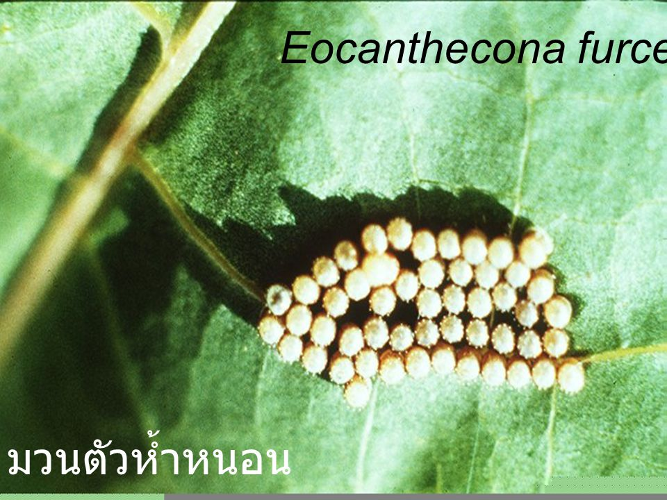 Eocanthecona furcellata 57 Egg