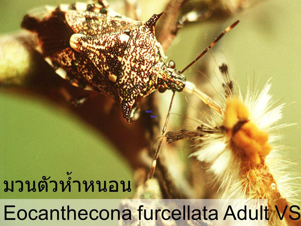 มวนตัวห้ำหนอน Eocanthecona furcellata Adult VS Orgyia turbata