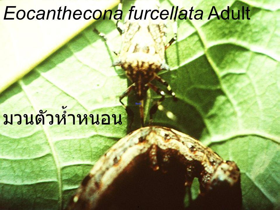 Eocanthecona furcellata Adult