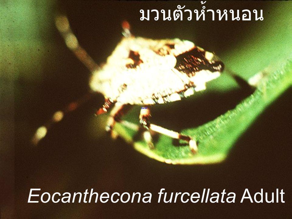 มวนตัวห้ำหนอน Eocanthecona furcellata Adult