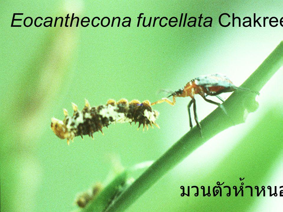 Eocanthecona furcellata Chakree