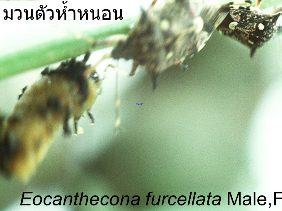 มวนตัวห้ำหนอน Eocanthecona furcellata Male,Female VS Podontia
