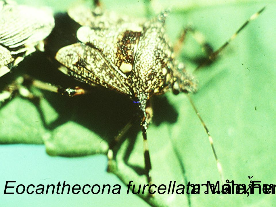 Eocanthecona furcellata Male,Female