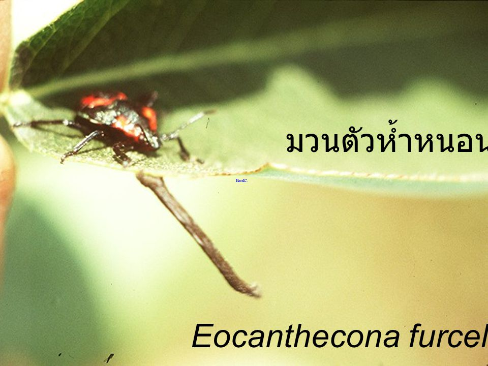 มวนตัวห้ำหนอน Eocanthecona furcellata Nymph3