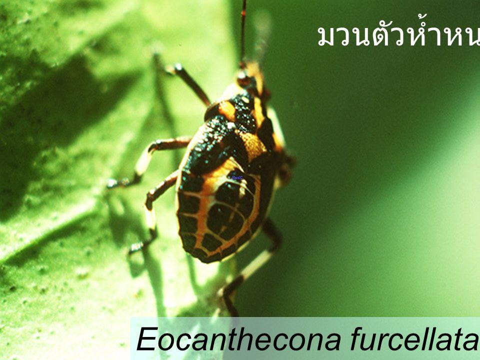 มวนตัวห้ำหนอน Eocanthecona furcellata Nymph4 citrus