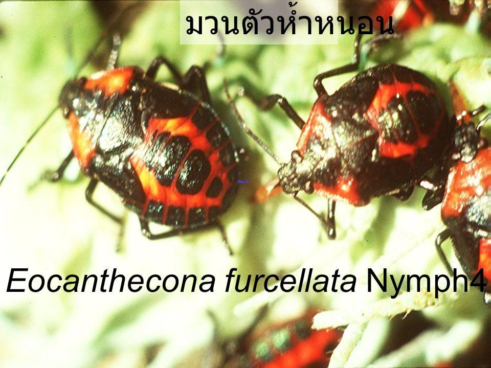 มวนตัวห้ำหนอน Eocanthecona furcellata Nymph4