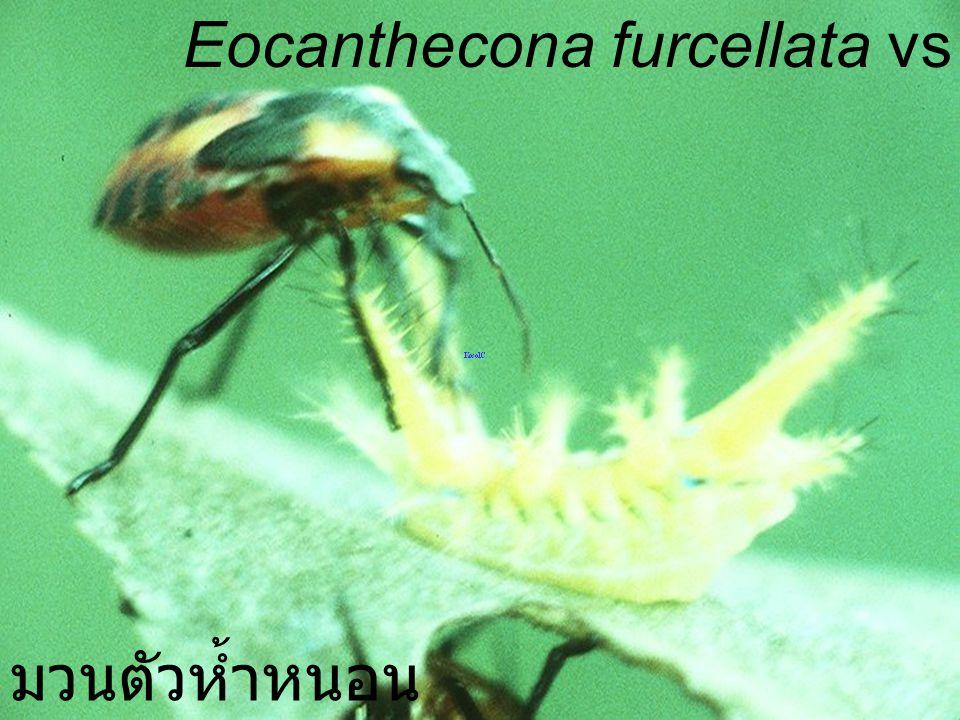 Eocanthecona furcellata vs Limacodid Larva