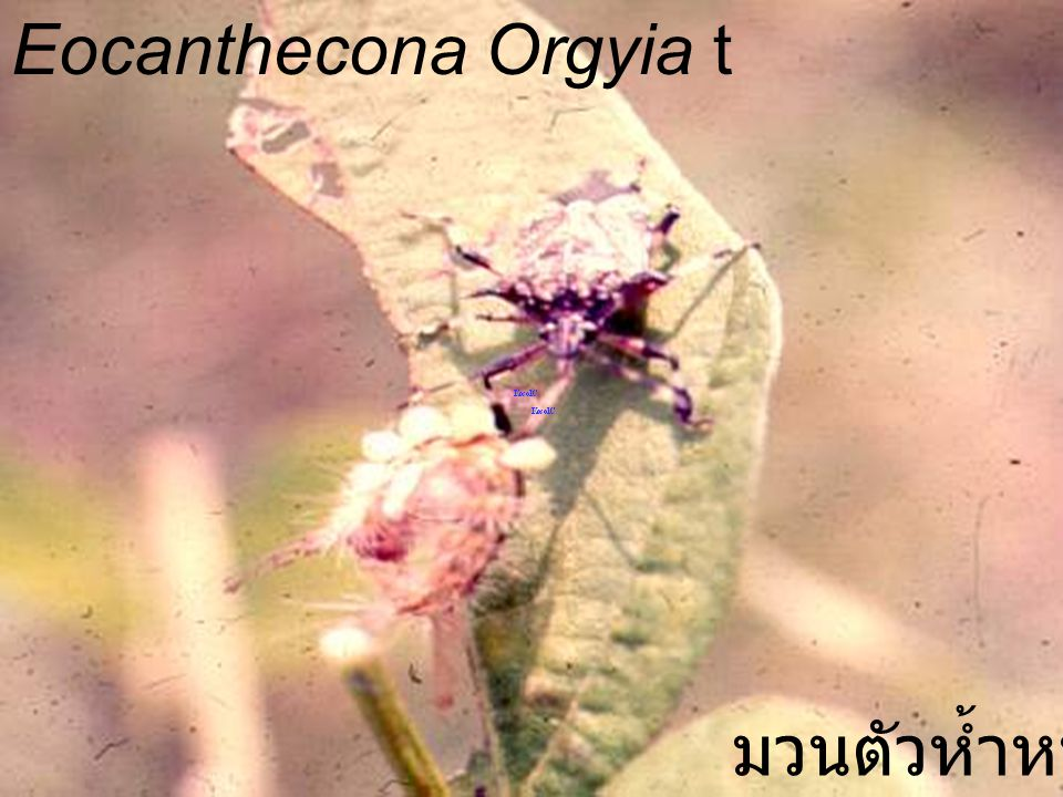 Eocanthecona Orgyia t มวนตัวห้ำหนอน