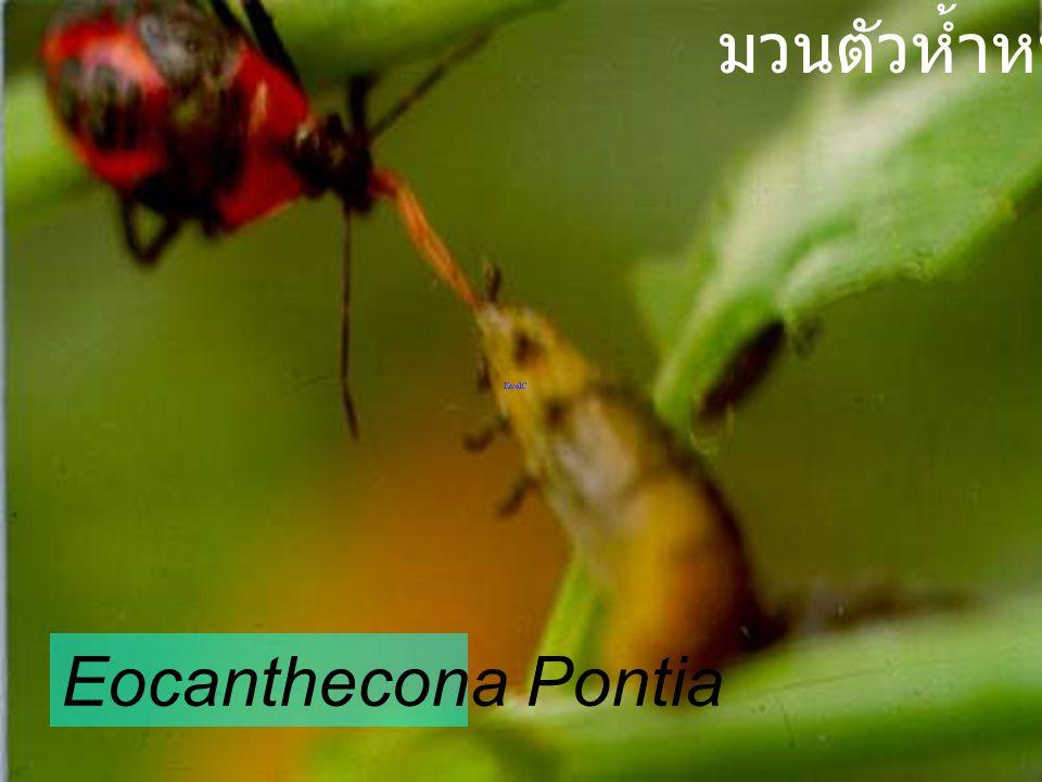 มวนตัวห้ำหนอน Eocanthecona Pontia