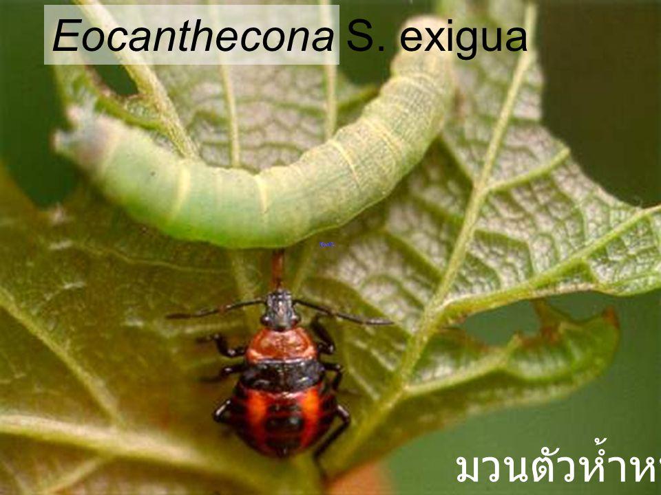 Eocanthecona S. exigua มวนตัวห้ำหนอน
