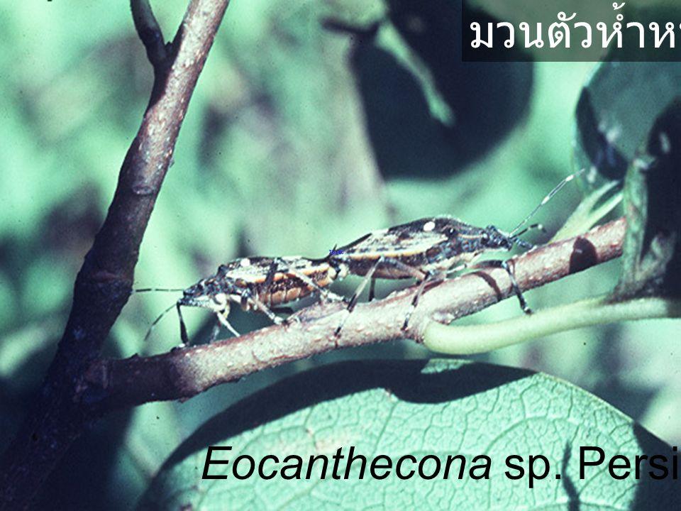 มวนตัวห้ำหนอน Eocanthecona sp. Persimmon