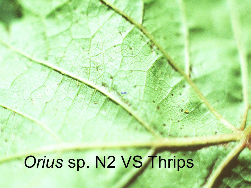 Orius sp. N2 VS Thrips