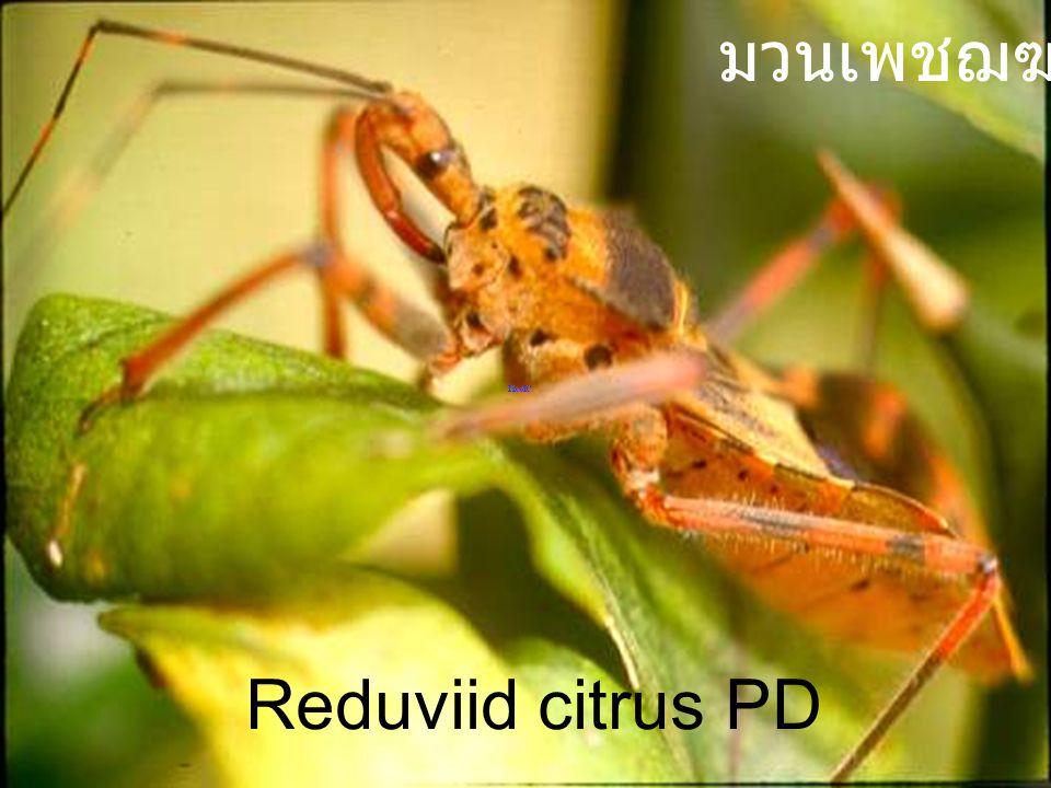 มวนเพชฌฆาต Reduviid citrus PD