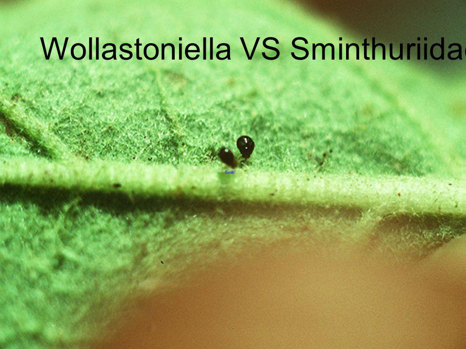 Wollastoniella VS Sminthuriidae Chiang Khong