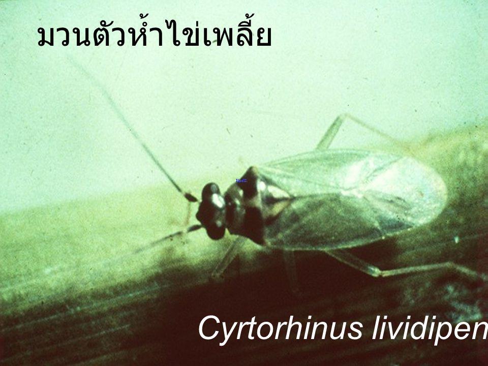 มวนตัวห้ำไข่เพลี้ย Cyrtorhinus lividipennis