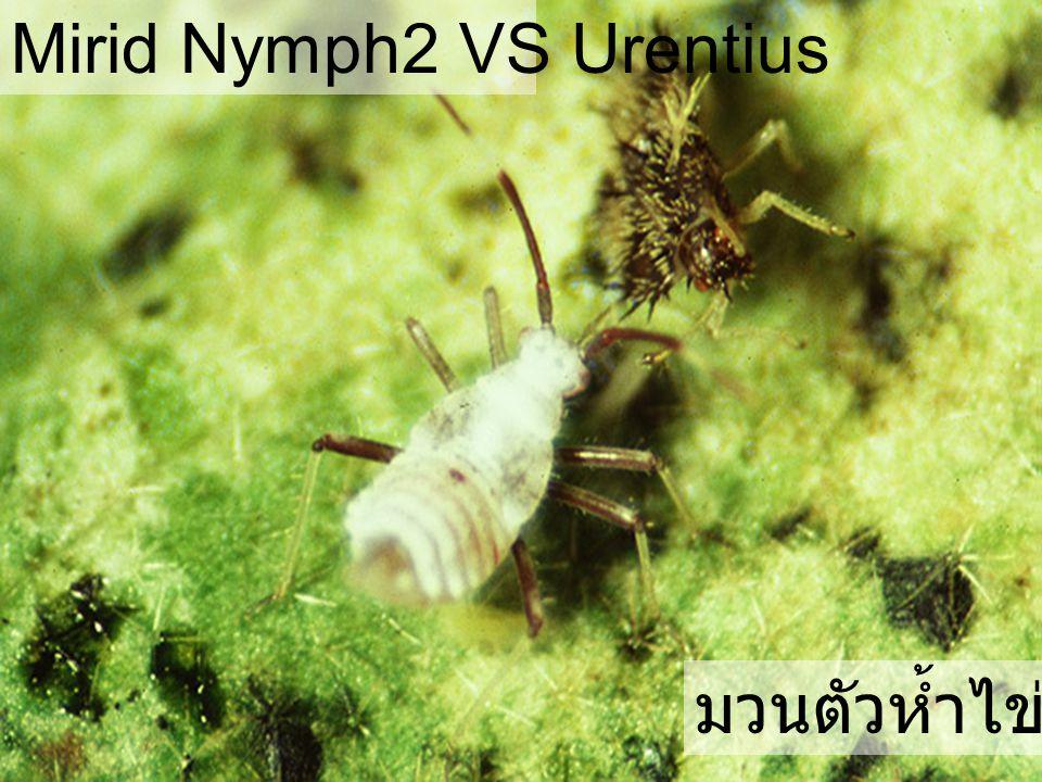 Mirid Nymph2 VS Urentius