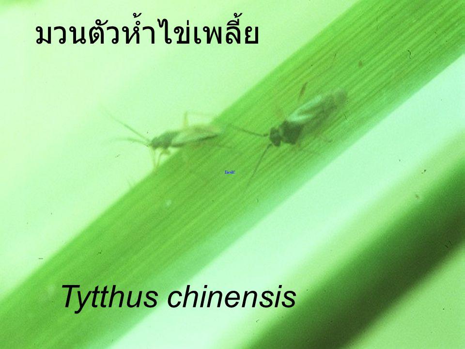 มวนตัวห้ำไข่เพลี้ย Tytthus chinensis