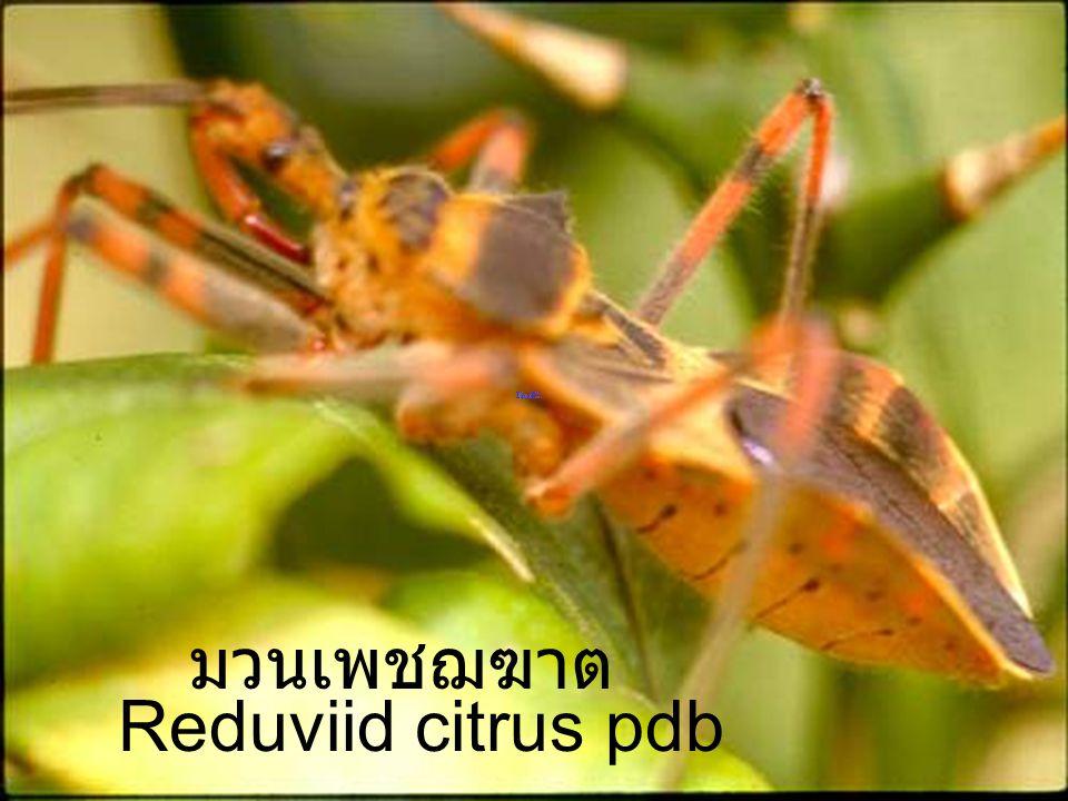 มวนเพชฌฆาต Reduviid citrus pdb