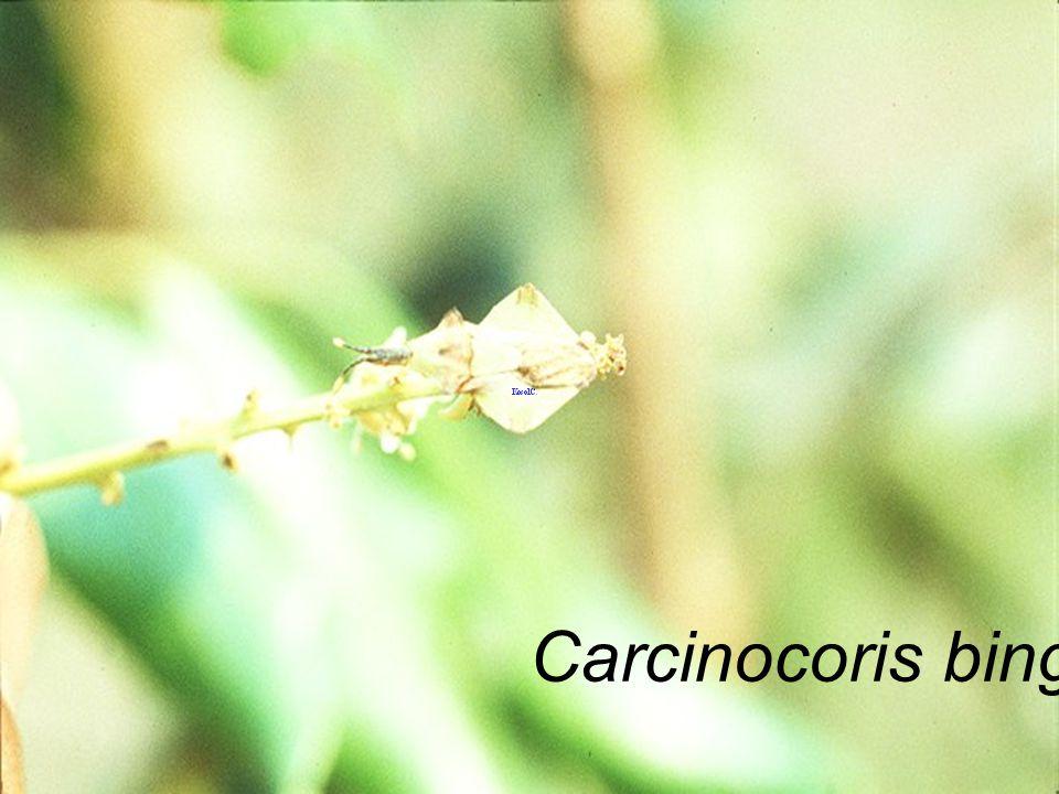 Carcinocoris binghami