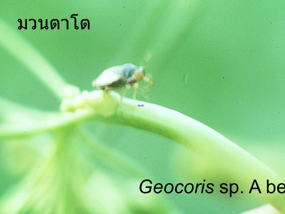 มวนตาโต Geocoris sp. A bean leaf