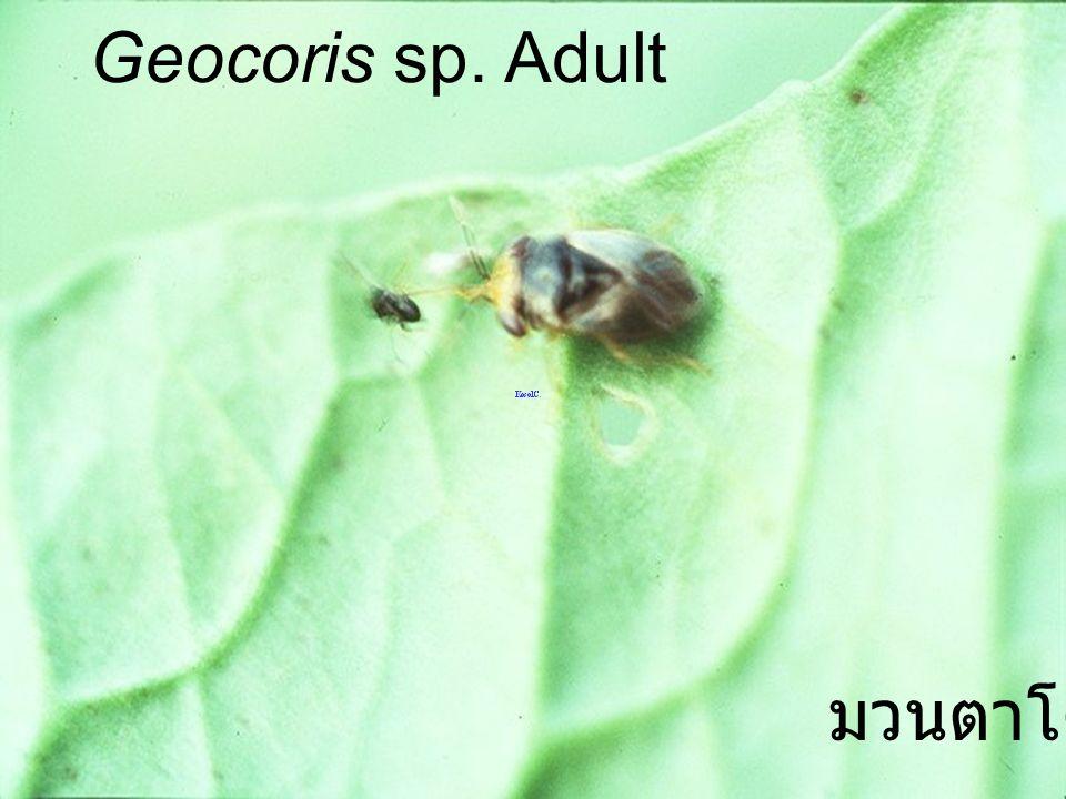 Geocoris sp. Adult มวนตาโต