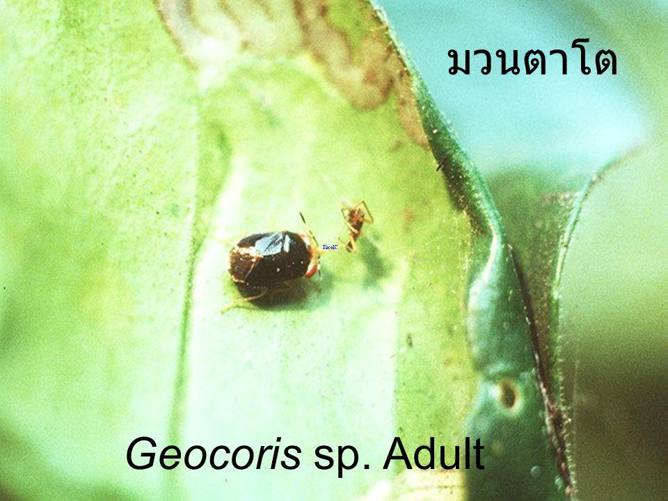 มวนตาโต Geocoris sp. Adult