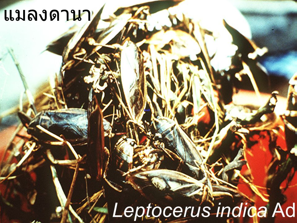 แมลงดานา Leptocerus indica Adult