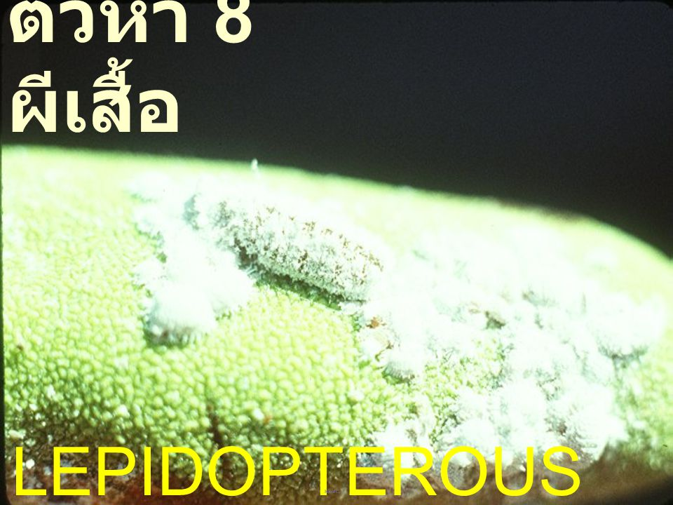 ตัวห้ำ 8 ผีเสื้อ LEPIDOPTEROUS PREDATORS