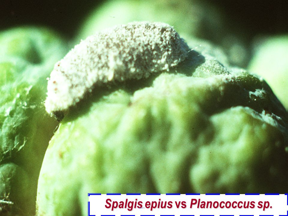 Spalgis epius vs Planococcus sp.