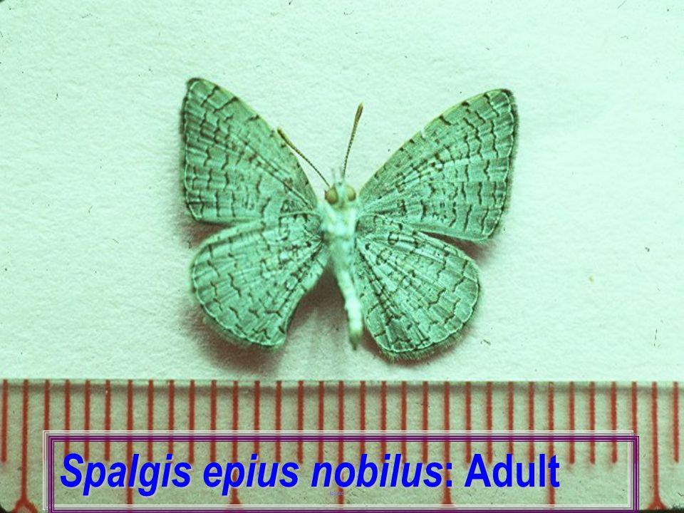 Spalgis epius nobilus: Adult