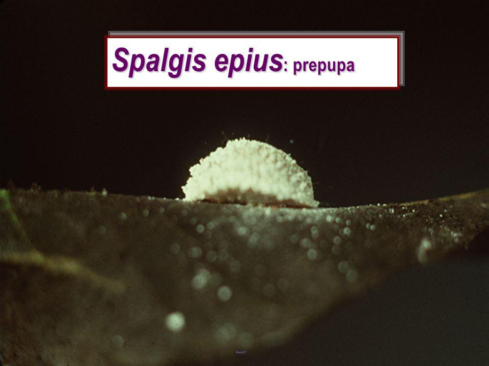 Spalgis epius: prepupa