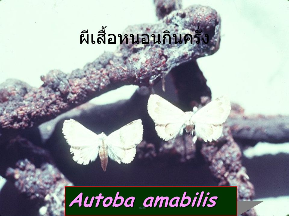 ผีเสื้อหนอนกินครั่ง Autoba amabilis