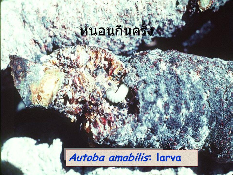 หนอนกินครั่ง Autoba amabilis: larva