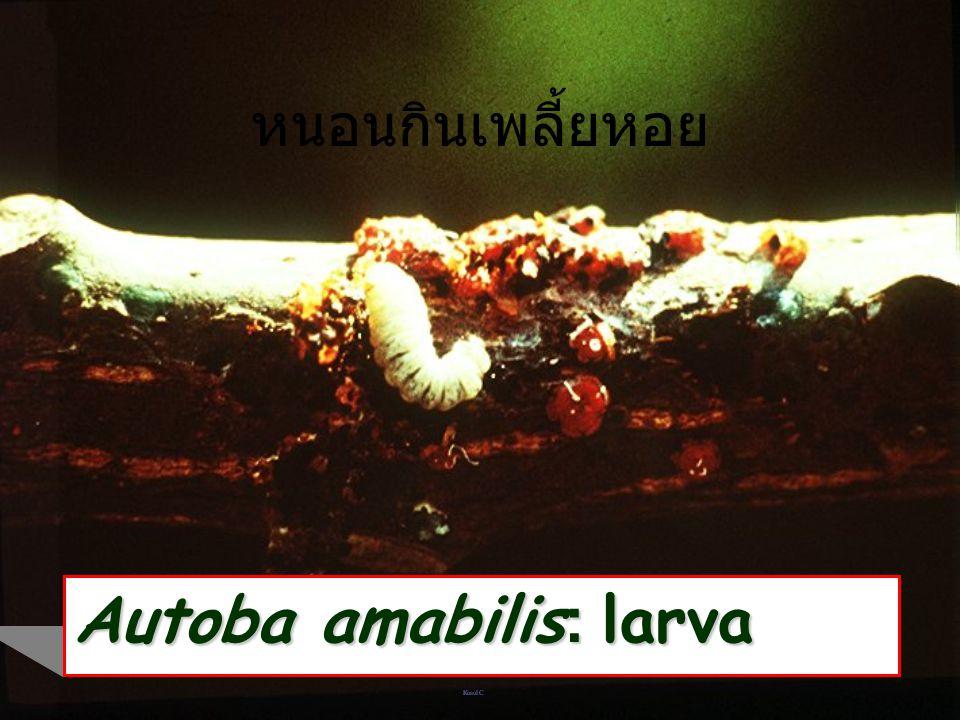 Autoba amabilis: larva