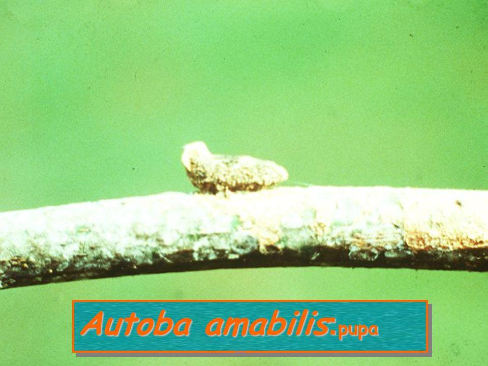 Autoba amabilis:pupa