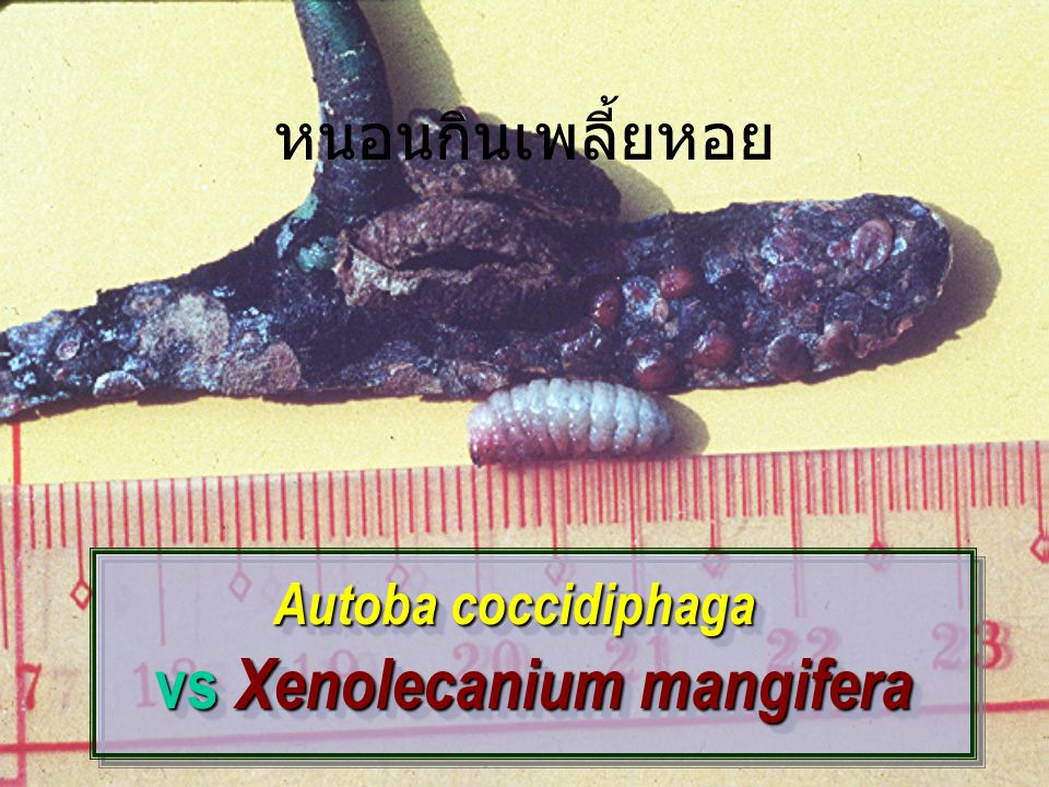 vs Xenolecanium mangifera