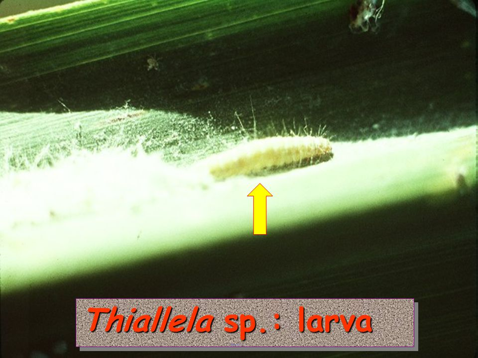 Thiallela sp.: larva