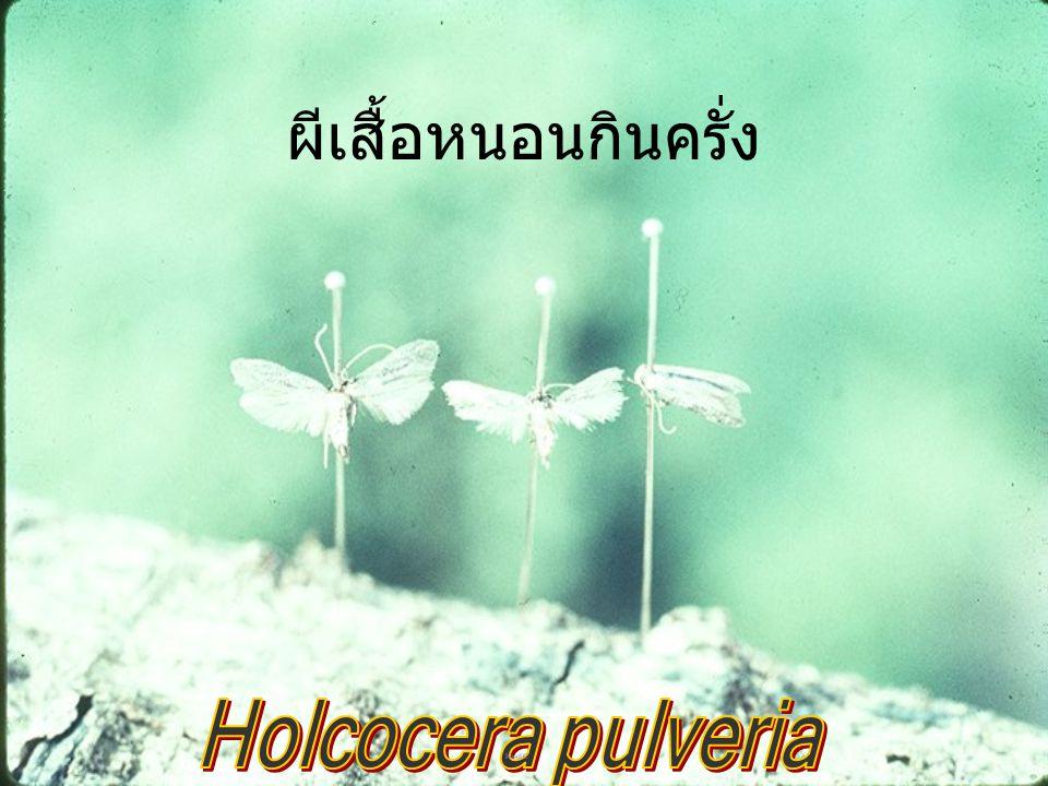 ผีเสื้อหนอนกินครั่ง Holcocera pulveria