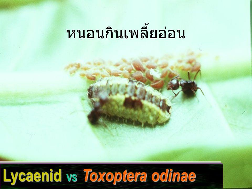 Lycaenid VS Toxoptera odinae