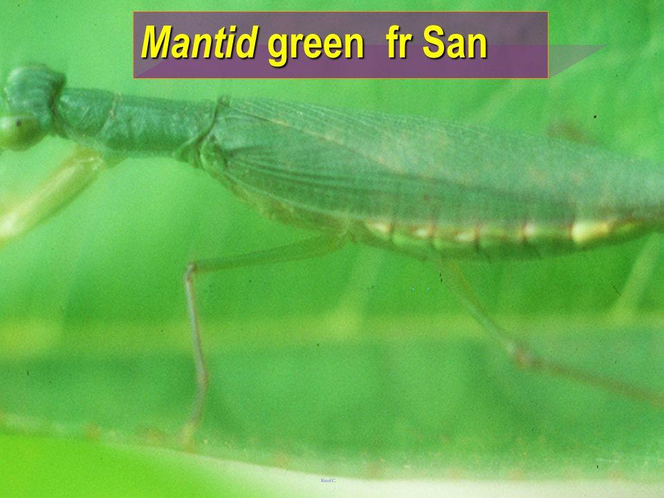 Mantid green fr San