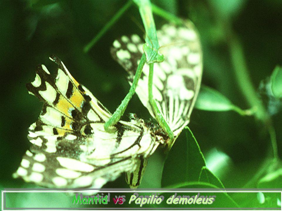 Mantid vs Papilio demoleus