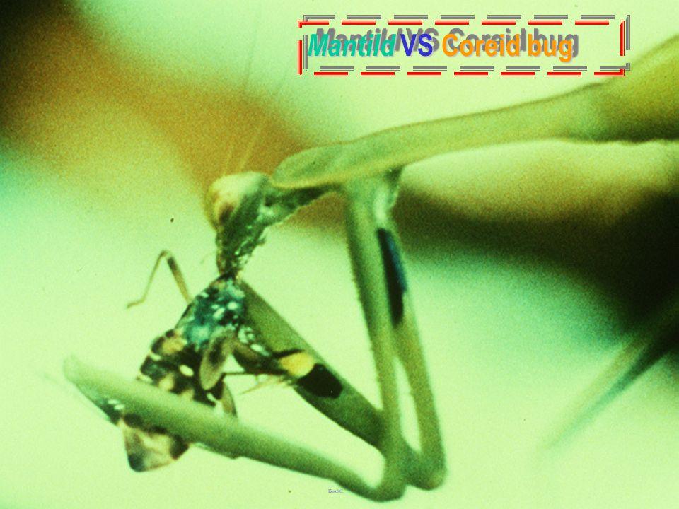 MantiId VS Coreid bug