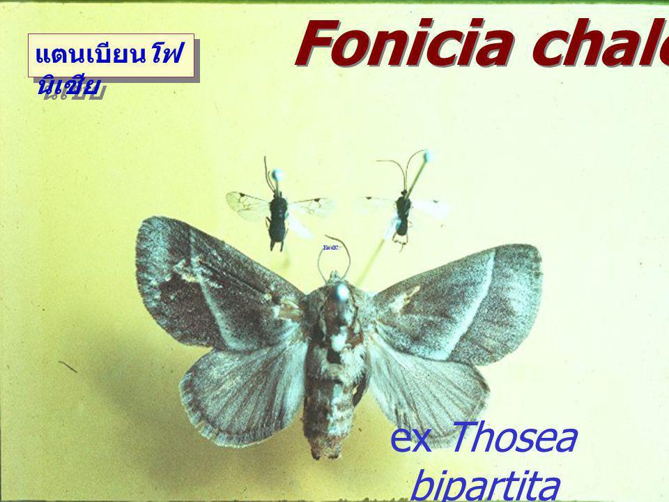 Fonicia chalcoscelidis
